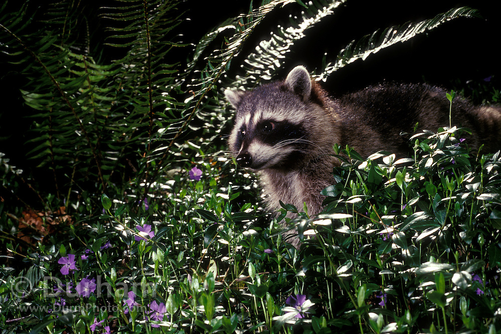 Raccoon (Procyon lotor) in non-native vinca flowers at night. Forest Park, Portland, Oregon. July 1995