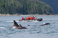 Tourist observing three transient Killer Whales from a zodiac in South Passage of Icy Strait in Southeast Alaska.