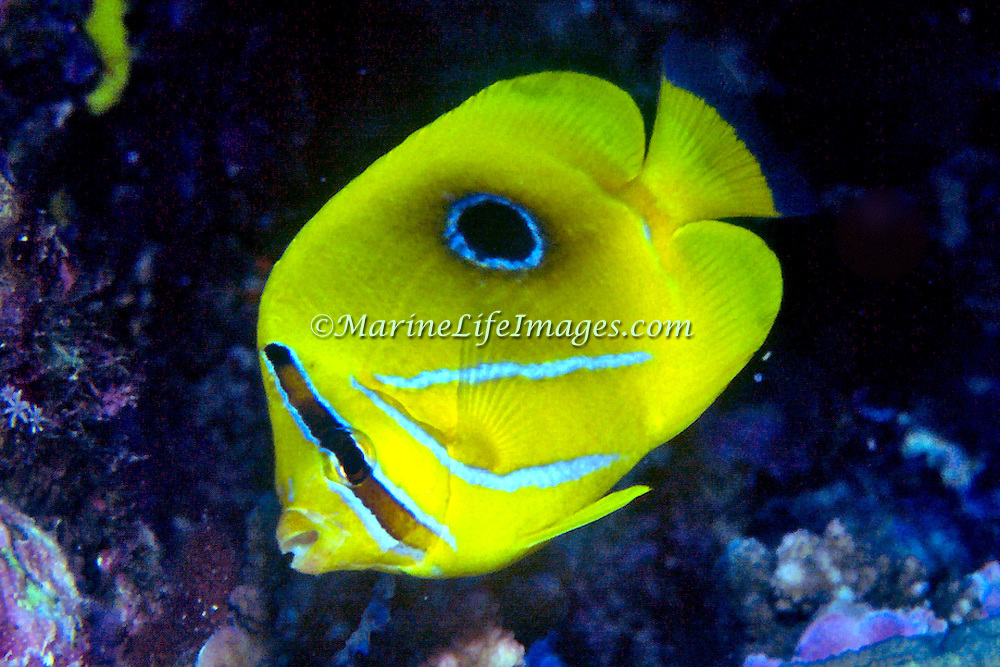 Eclipse Butterflyfish inhabit reefs. Picture taken PNG.