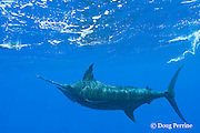 free swimming blue marlin, Makaira nigricans, chasing teaser lure, Vava'u, Kingdom of Tonga, South Pacific