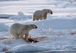 Polar bear (Ursus maritimus) and Ivory gull (Pagophila eburnea) on drifting ice at 82 degree North in September, Svalbard, Norway