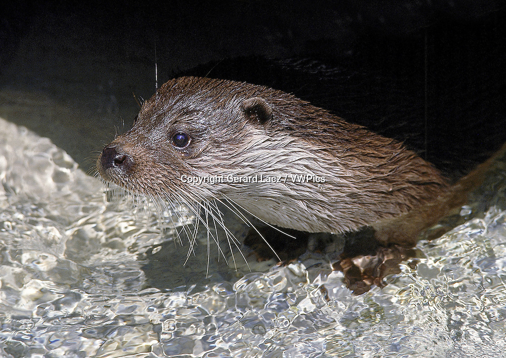 EUROPEAN OTTER lutra lutra, PORTRAIT OF ADULT