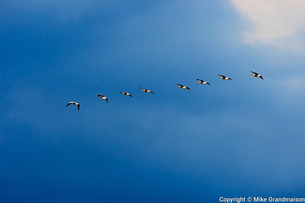 American white pelican (Pelecanus erythrorhynchos) in flight <br />Morse<br />Saskatchewan<br />Canada
