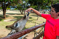 Tourist feeding giraffe, Lion Park, near Johannesburg, South Africa.