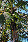 Coconut tree, Philippines