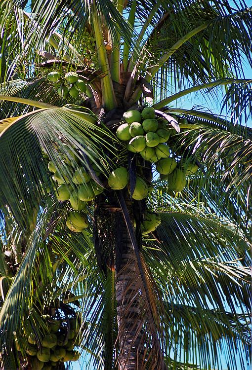 Coconut tree, Philippines
