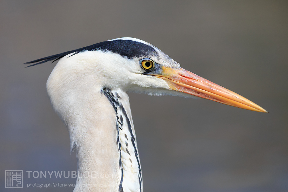 Portrait of a grey heron (Ardea cinerea), photographed in Kanagawa Prefecture, Japan