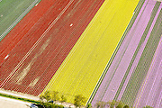 Nederland, Flevoland, Gemeente Noordoostpolder, 07-05-2015; bollenvelden met tulpen en narcissen in de nieuwe bollenstreek. Noordoostpolder ten noordwesten van Creil.. <br /> Bulb fields with tulips and daffodils. Northeast Polder, the new flower bulb region.<br /> luchtfoto (toeslag op standard tarieven);<br /> aerial photo (additional fee required);<br /> copyright foto/photo Siebe Swart