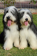 Bearded Collie, or Beardie, is a herding breed of dog once used primarily by Scottish shepherds, but now mostly a popular family companion.