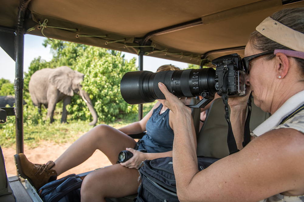 Female photographer points her camera lens out of game drive vehicle at African bush elephant (Loxodonta africana)  passing by, Chobe National Park - Botswana