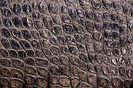 Vereinigte Staaten von Amerika, USA, Florida: amerikanischer Mississippi-Alligator (Alligator mississippiensis). Hautstruktur. | United States of America, USA, Florida: American Alligator, Alligator mississippiensis, skin structure. |