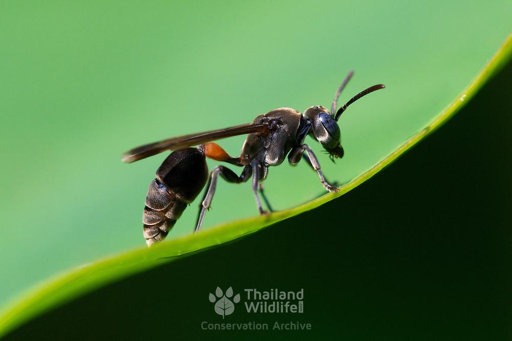 Hymenoptera sp. wasp in Huai Kha Khaeng Wildlife Sanctuary, Thailand.