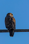 A red-tailed hawk perches on a rail near Burns, Wyoming, on April 18, 2017.