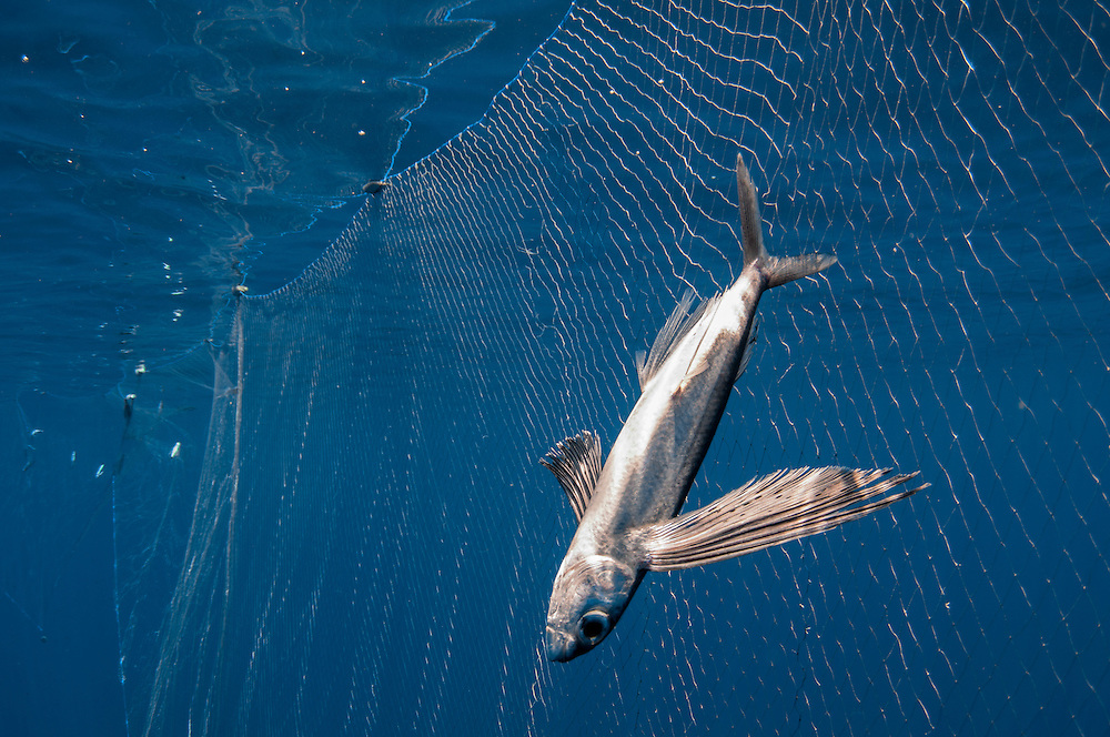 Despite being internationally banned open-ocean driftnets are still common in many waters due to lack of proper enforcement. Here we see a flying fish has fallen victim.