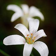 Shasta Lily