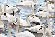 A herd of swans or a game, bank, team, bevy, group or lamentation of swans sitting on a large pond or small lake.