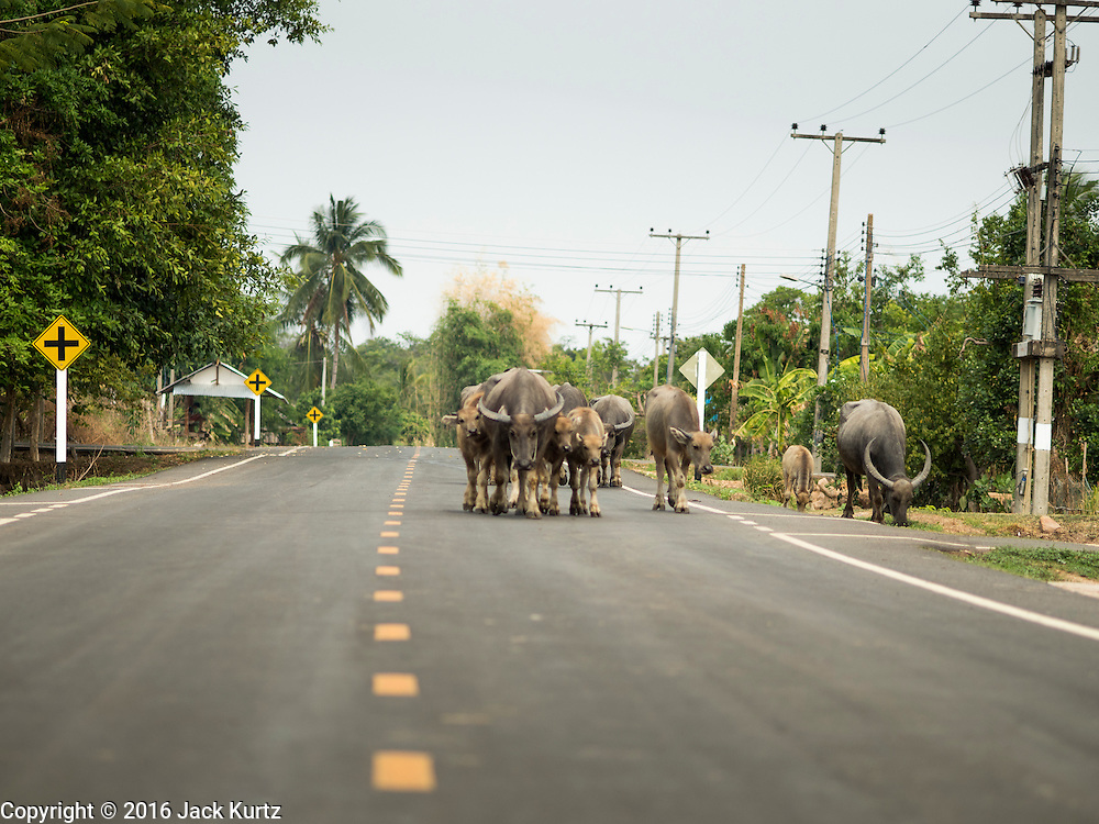 "10 MAY 2016 - BAN KHANA, TA TUM, SURIN, THAILAND: Water buffalo walk down the main road in the village of Ban Khana, near the Cambodian border in Surin province, Thailand. Water buffalo used to be the main ""beast of burden"" for Thai farmers but now most Thai farmers use tractors and buffalo are kept as a source of meat.      PHOTO BY JACK KURTZ"