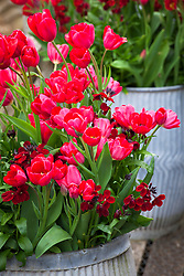 Tulipa 'Red Georgette' and Erysimum 'Blood Red' in large galvanised containers