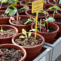 Young red stemmed chard plants growing in compost in containers in a greenhouse.