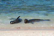 Hawaiian monk seals, Monachus schauinslandi, Critically Endangered endemic species, a 7-year-old male (RI11) on right, and a female (R318) on left, bark at each other at beach on west end of Molokai, Hawaii ( Central Pacific Ocean )