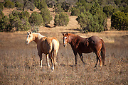 Horses Grazing in the Pasture