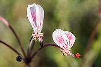 Pelargonium flowers, Bontebok National Park, Western Cape, South Africa