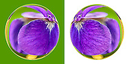 Siberian Iris in Globe closeups, on grounds of Nassau County Museum of Art, Roslyn, New York, USA, on July 11, 2009. Digital manipulation: Sphere treatment of purple irises.
