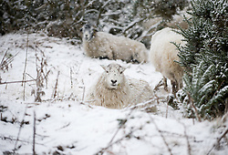 © Licensed to London News Pictures. 14/01/2013..North Yorkshire Moors, England..Sheep on the North Yorkshire moors take shelter as parts of North Yorkshire and East Cleveland saw heavy snow fall today.  ..Photo credit : Ian Forsyth/LNP