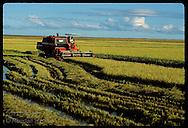 Combine harvests rice in soggy field in late pm on huge farm of Granja Bretanhas, Rio Grande Sul Brazil