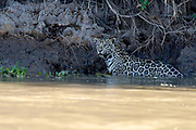 Jaguar (Panthera onca palustris) in Cuiabá River, Pantanal, Brazil.