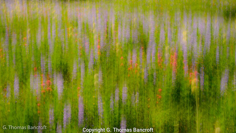Lupines dominated the landscape with red paintbrush and yellow flowers intermixed.