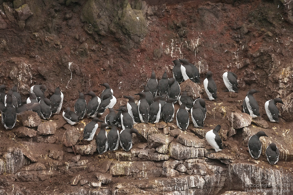 Dozens of common guillemots (Uria aalge) crowd together to nest on the Látrabjarg bird cliff in western Iceland. Látrabjarg is Europe's largest bird cliff: 14 km (8.7 miles) long and standing up to 440 meters (1444 feet) above the Atlantic Ocean. Common guillemots, also known as common murres or thin-billed murres, are members of the auk family. They breed in very dense colonies, laying a single egg on a bare rocky ledge.