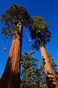 Members of Tree Climbers International, mostly from Japan climb twin sequoias near Springville, California.