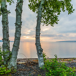 Paper birch trees on the shoreline of Square Lake in Square Lake Township, Maine.