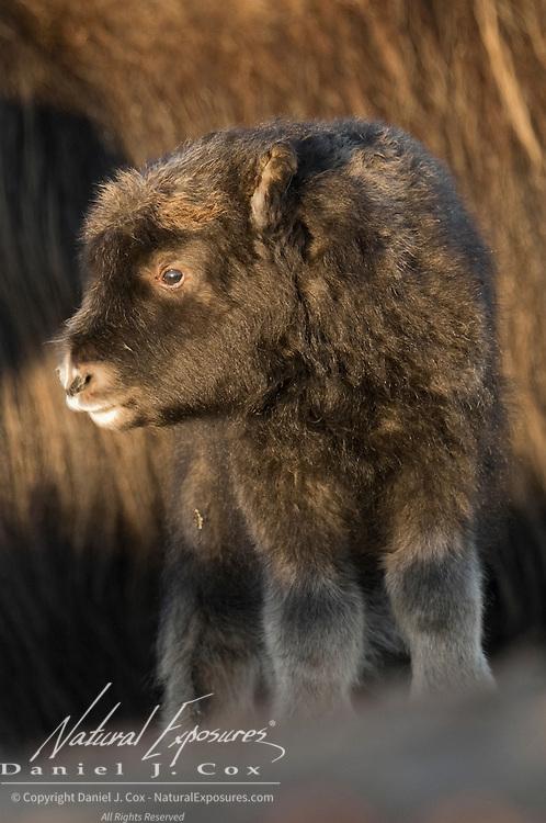 A newborn muskox calf. Alaska