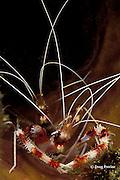 banded coral shrimp, Stenopus hispidus, inside sponge, Dominica ( Eastern  Caribbean Sea )