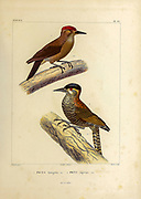 hand coloured sketch Top: smoky-brown woodpecker or brown woodpecker (Leuconotopicus fumigatus [Here as Picus fumigatus]) Bottom: bar-bellied woodpecker (Veniliornis nigriceps [Here as Picus nigriceps]) From the book 'Voyage dans l'Amérique Méridionale' [Journey to South America: (Brazil, the eastern republic of Uruguay, the Argentine Republic, Patagonia, the republic of Chile, the republic of Bolivia, the republic of Peru), executed during the years 1826 - 1833] 4th volume Part 3 By: Orbigny, Alcide Dessalines d', d'Orbigny, 1802-1857; Montagne, Jean François Camille, 1784-1866; Martius, Karl Friedrich Philipp von, 1794-1868 Published Paris :Chez Pitois-Levrault et c.e ... ;1835-1847