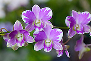 Orchid, Hilo Orchid Show, Island of Hawaii