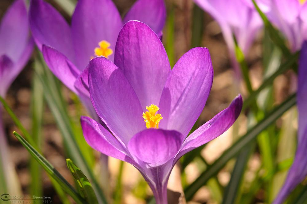 Blooming springtime purple crocus flowers