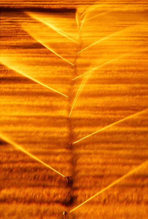 Golden wheat fields approach harvest time as sprinklers spray irrigation water in last light