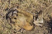 Bat-eared fox<br /> Otocyon megalotis<br /> With 5 week old pup(s) at den<br /> Masai Mara Reserve, Kenya