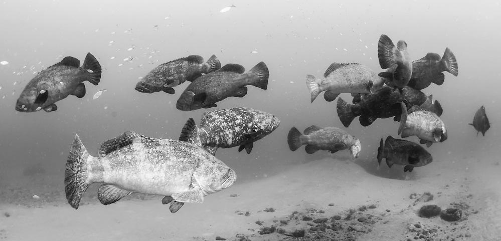 Goliath Grouper, Epinephelus itajara, gather near the Mispah shipwreck offshore Singer Island, Florida, United States, during a spawning aggregation i August 2014. Fish with spawning coloration.