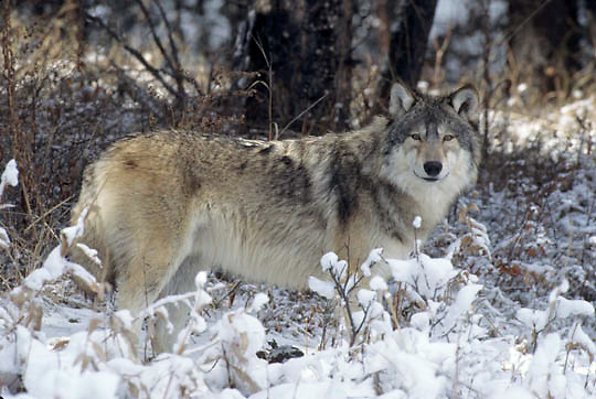 Gray Wolf, (Canis lupus) In Snowy foothills of Rocky mountains. Montana. Winter. Captive Animal.