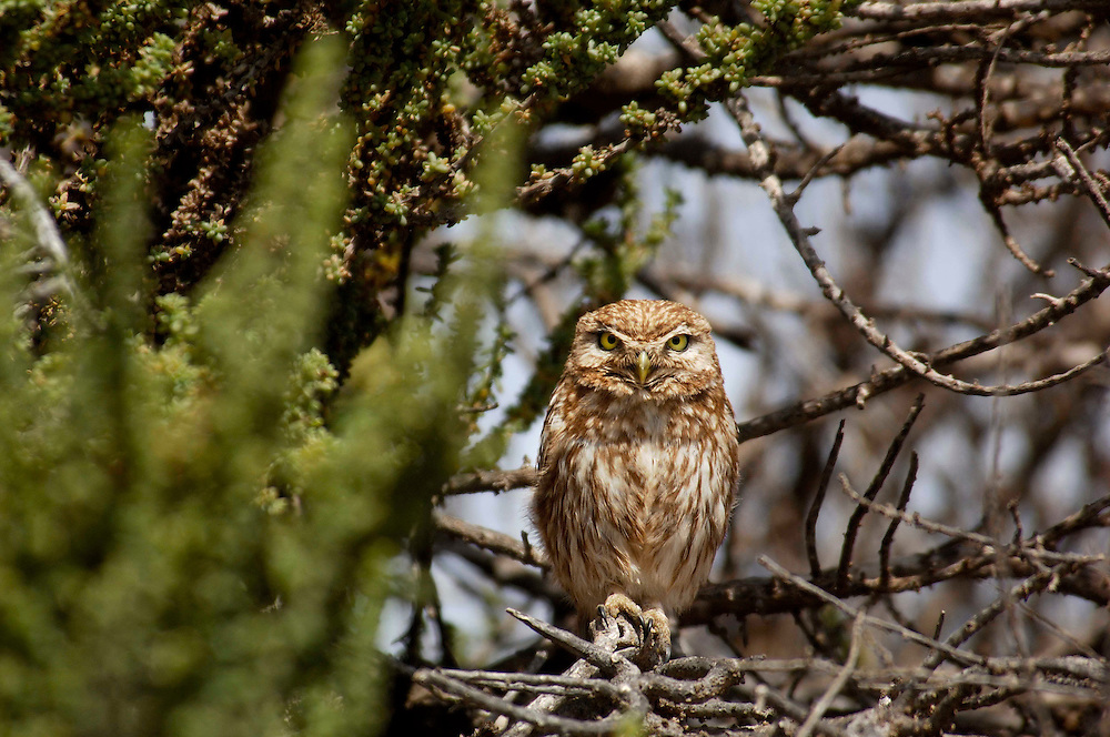 Little Owl, Athene noctua, Parc National de Souss-Massa, near Sidi Wassay, Morocco