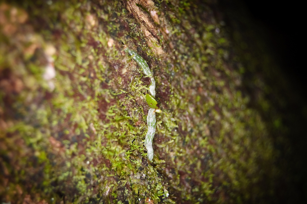 "A very rare sight!!! Although the ghost orchid is known as a ""leafless orchid"" - when it is just sprouting its recognizable  and distinct roots on its host tree, there is a tiny vestigial leaf - an evolutionary throwback to an earlier ancestor."
