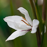 Acidanthera (Gladiolus murielae)