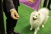 New York, NY - 16 February 2015. American Eskimo dog Nuuktok's Atka Inukshuk focused on a treat held by his handler after taking fourth place in the non-sporting dog group competition of the Westminster Kennel Club Dog Show.