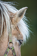 White haired horse | Hvithåret hest