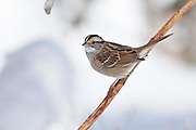 The old lilly stock provided a good perch above the ground in my garden.  The White-throated Sparrow was very alert to my movements and only stayed for a few seconds.
