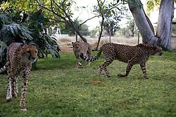 NAMIBIA KAMANJAB 27APR14 - Tame cheetahs at the Ojitotongwe Cheetah farm near Kamanjab, Namibia.<br /> <br /> <br /> <br /> jre/Photo by Jiri Rezac<br /> <br /> <br /> <br /> &copy; Jiri Rezac 2014